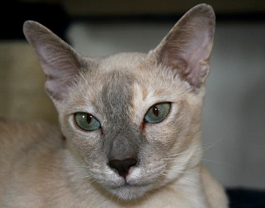 Ein paar ausgewählte Fotos von Cora. Sie ist eine Tonki Lilac Tortie