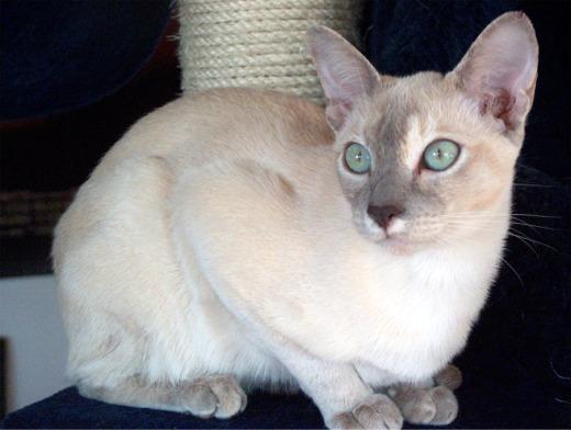 Ein paar ausgewählte Fotos von Cora. Sie ist eine Tonki Lilac Tortie ...